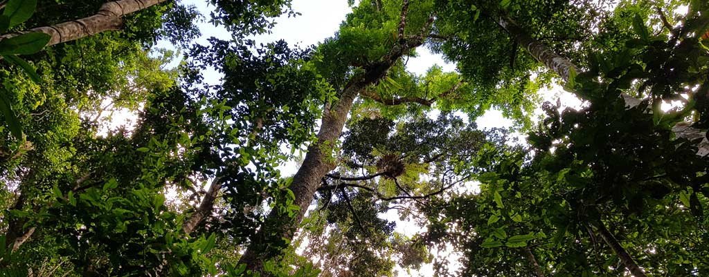 Daintree Forest Trees